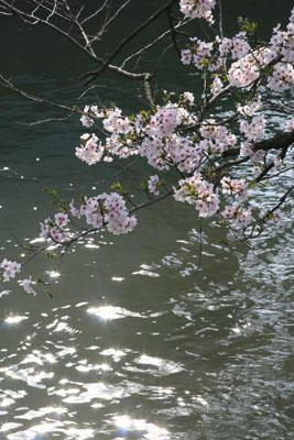 長岡の桜(福島江)水辺で撮りました。