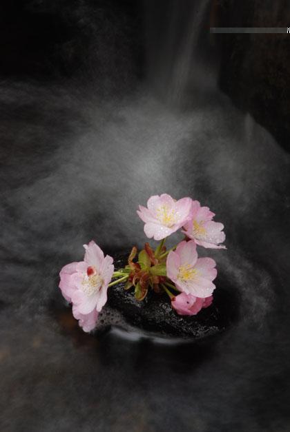 水の流れと桜