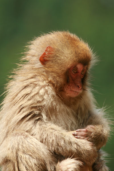 地獄谷野猿公苑のお猿さん